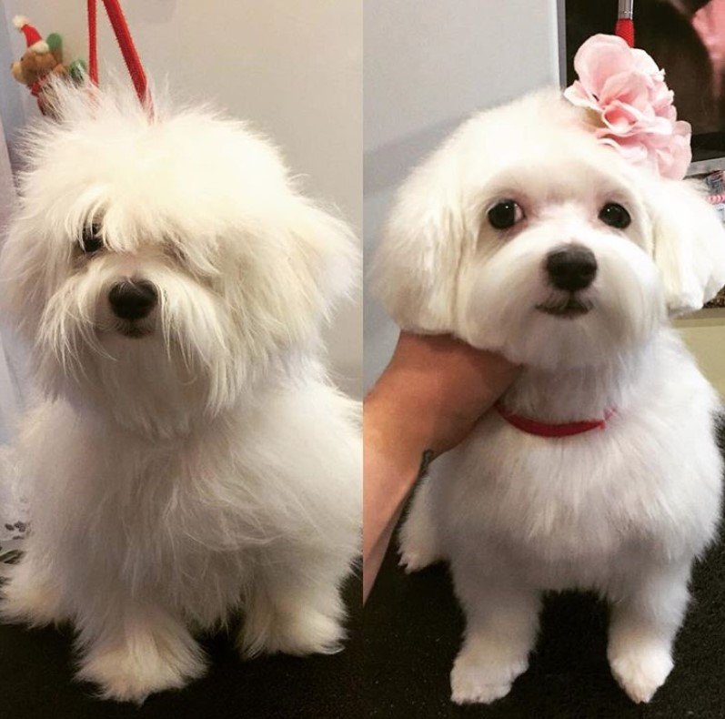 30 Best Maltese Haircuts For Dog Lovers Page 2 Of 8 The Paws