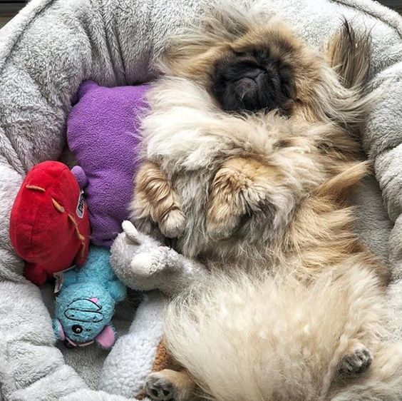 [Image: pekingese-dog-sleeping-picture-5.jpg]