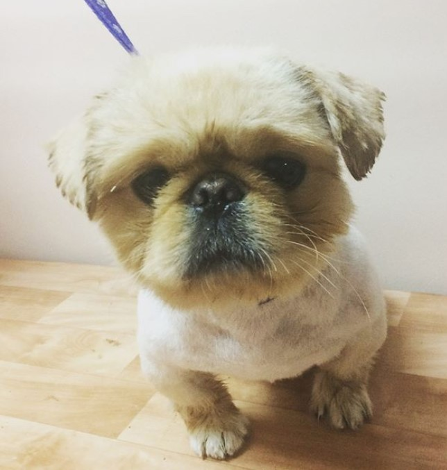 18 Best Pekingese Haircuts For Dog Lovers Page 4 The Paws