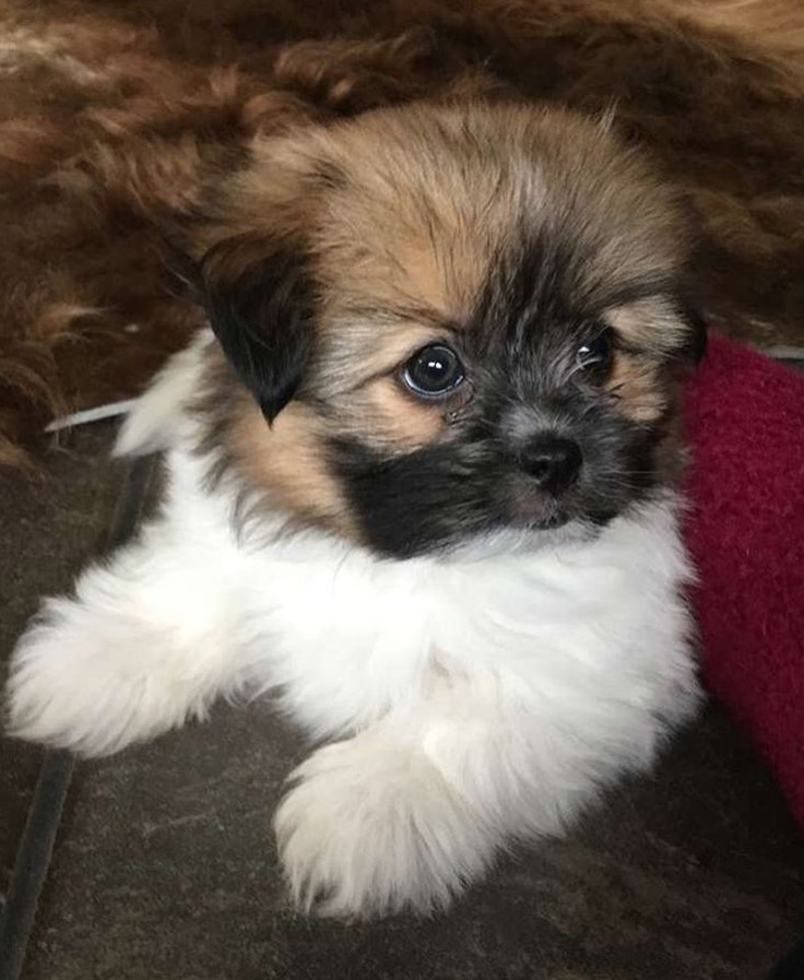 30 Pomeranians Mixed With Shih Tzu The Paws