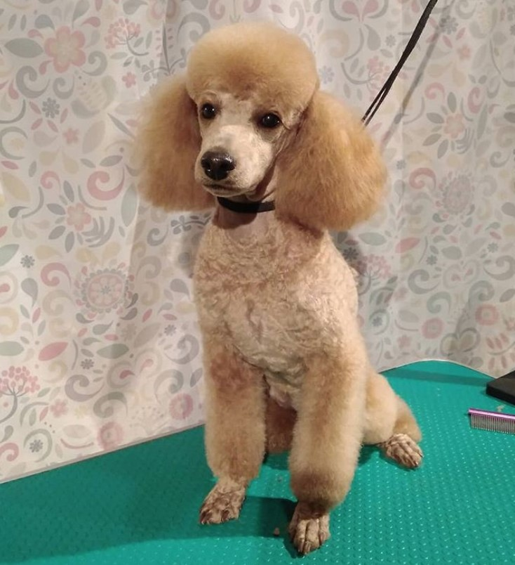 Apricot miniature poodle short cut for summer with topknot