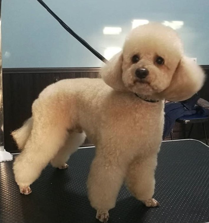 50 Best Poodle Haircuts For Dog Lovers Page 6 Of 12