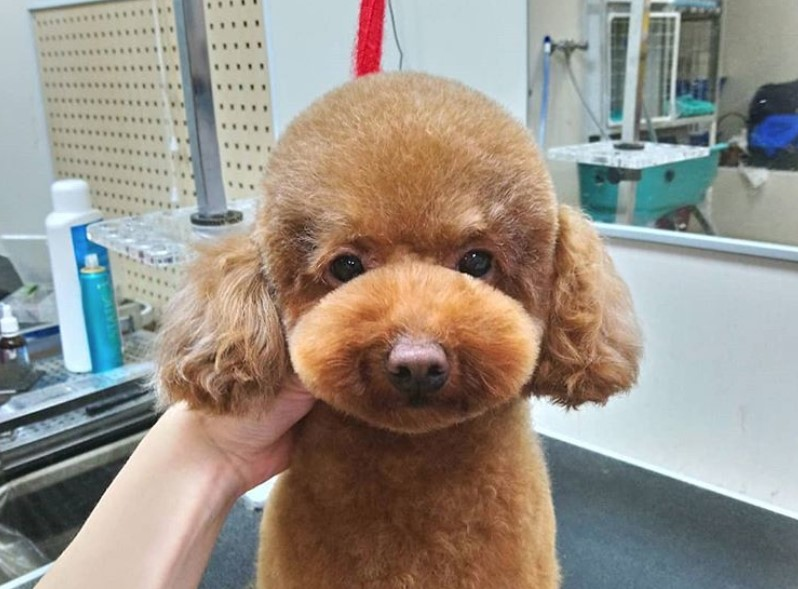 Red toy poodle teddy bear face cut