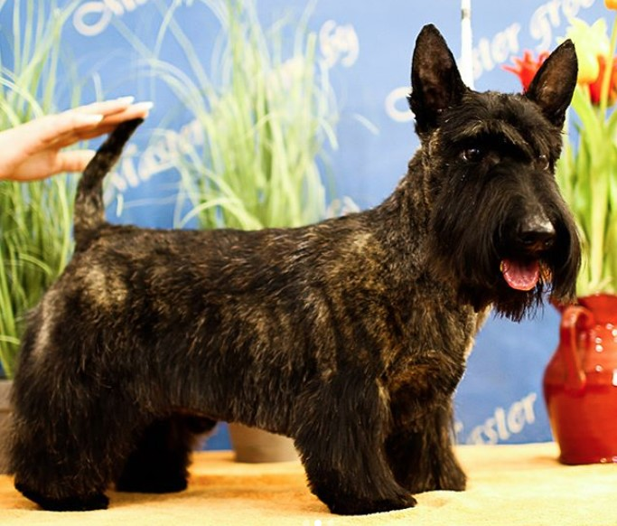 14 Best Scottish Terrier Haircuts For Dog Lovers