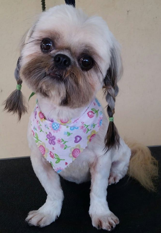 shih tzu pictures of haircuts top 10 popular shih tzu haircuts 30 pictures page 9 3473 | shih tzu pigtails 2