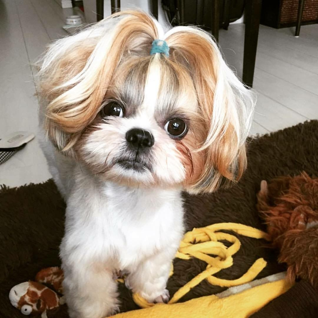 Top 10 Popular Shih Tzu Haircuts 30 Pictures Page 5 Of 10 The