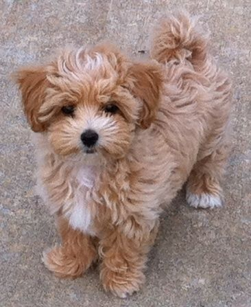 25 Shih Tzus Mixed With Poodle | Page 5 of 6 | The Paws