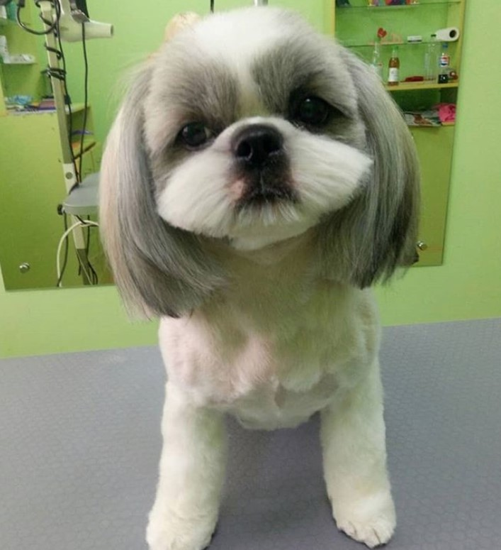 Top 10 Popular Shih Tzu Haircuts 30 Pictures Page 4 The Paws