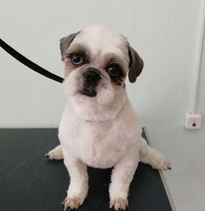 Top 10 Popular Shih Tzu Haircuts 30 Pictures Page 4