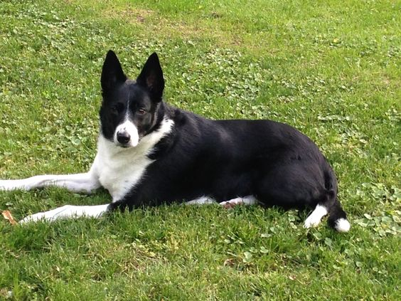 The 23 Cutest Pictures Of Short Haired Border Collies Page 5 The Paws