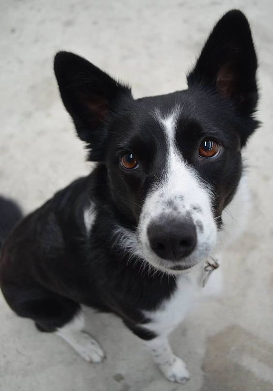 The 23 Cutest Pictures Of Short Haired Border Collies Page 3 The Paws