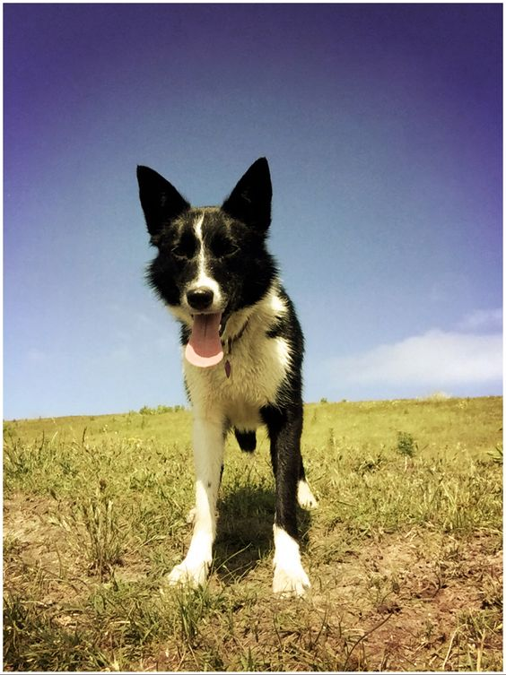 The 23 Cutest Pictures Of Short Haired Border Collies Page 4 The Paws