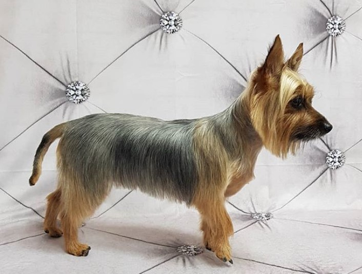 10 Best Silky Terrier Haircuts For Your Puppy The Paws