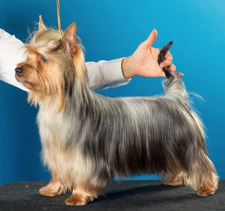 10 Best Silky Terrier Haircuts For Your Puppy Page 2 Of 4 The Paws