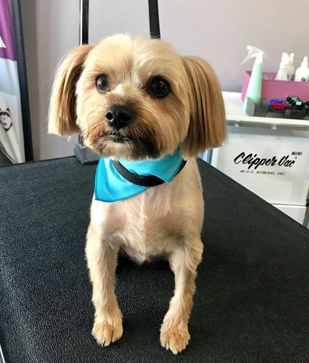 Yorkie haircut with floppy ears, Yorkie round face cut