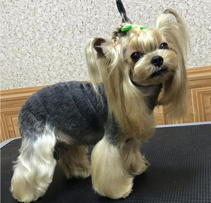 60 Best Yorkie Haircuts For Males And Females Page 11