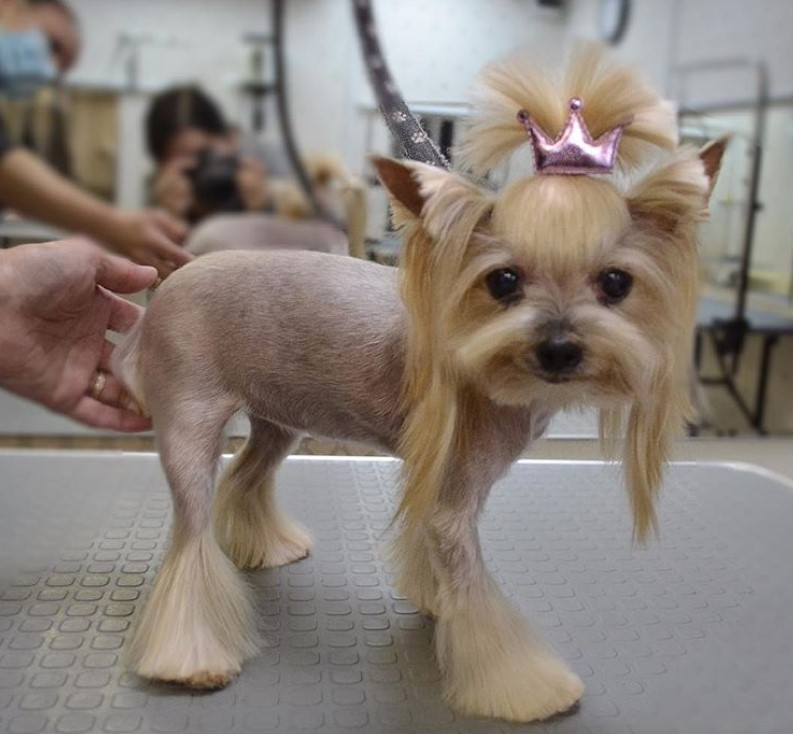 Cute Yorkie haircut for female, Yorkie summer cut, Yorkie short haircut