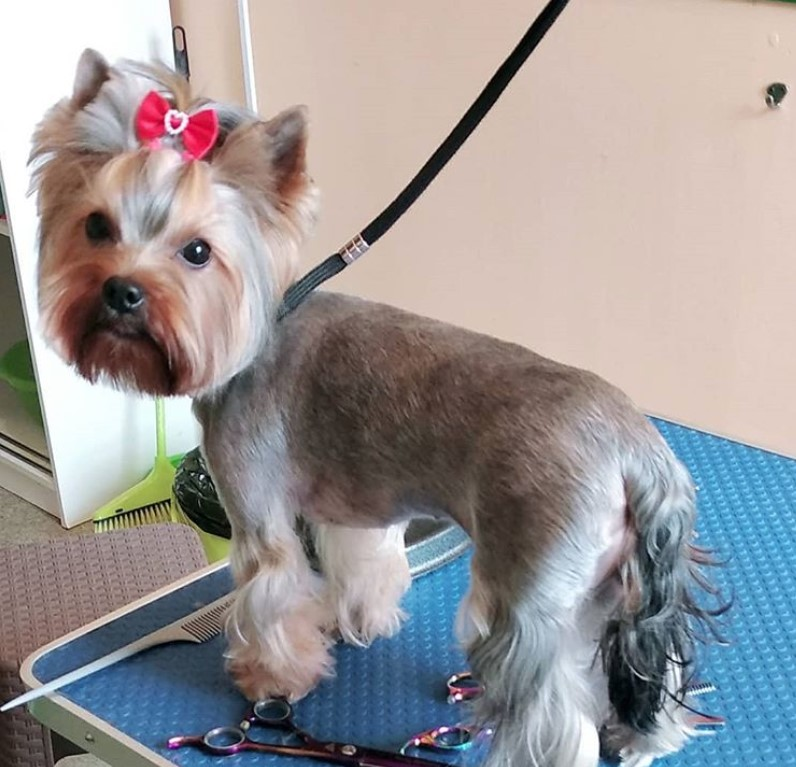 Yorkie summer cut for female, Yorkie short haircut