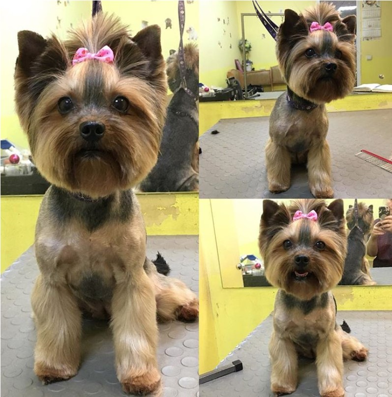 Yorkie round face cut for female, Yorkie short haircut