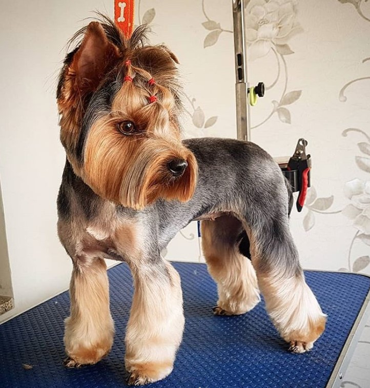 yorkie haircuts pictures summer cuts best yorkie haircuts for females 20 pictures page 4