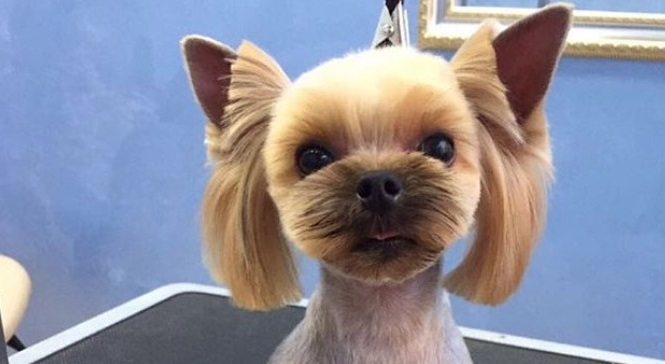 female yorkie haircuts best yorkie haircuts for females 20 pictures the paws 3159 | yorkie haircut for female