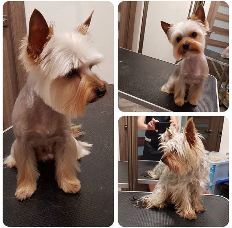 yorkie haircuts pictures summer cuts 24 best yorkie hairstyles for males yorkshire terrier