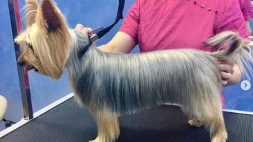 Cute Yorkie hairstyle for male