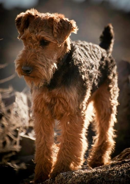 terrier airedale dog names paws bear
