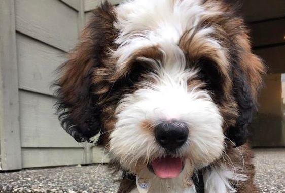 50 Best Bernedoodle Dog Names The Paws