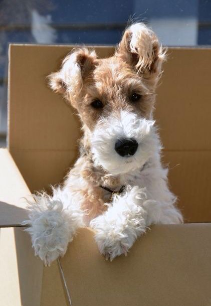 100+ Best Fox Terrier Dog Names | The Paws