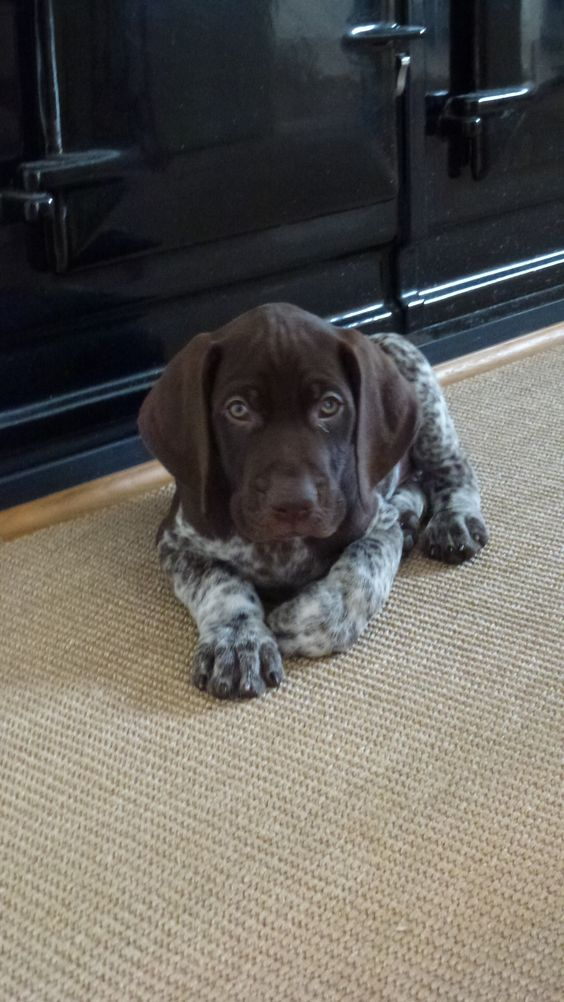 100 Best German Shorthaired Pointer Dog Names The Paws