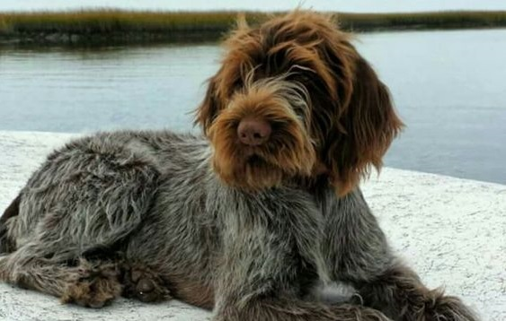 100+ Best German Wirehaired Pointer Dog Names – The Paws