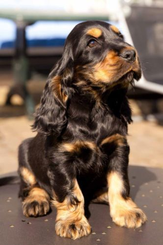 The 21 Cutest Black And Tan Cocker Spaniel Pics That Will Cheer You Up The Paws