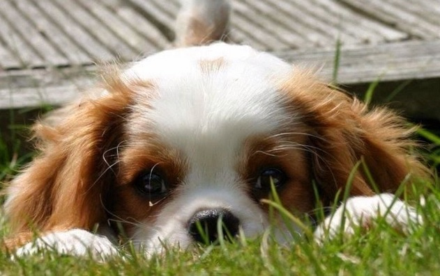 33 Things Cavalier King Charles Spaniels Don T Like The