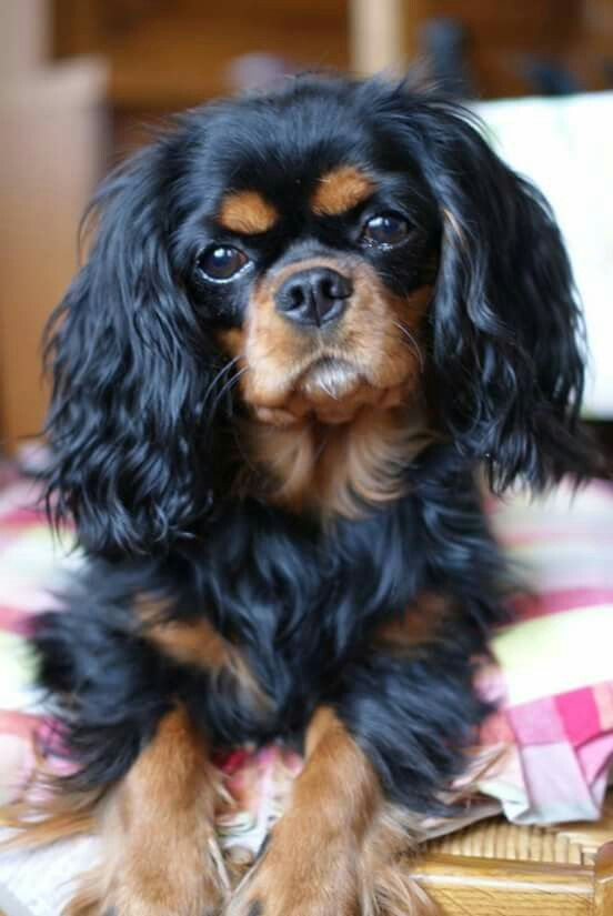 30 Best Toys For Cavalier King Charles Spaniels The Paws