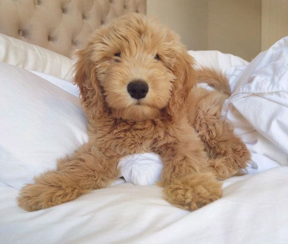 goldendoodle puppy toys goldendoodles week puppies doodle golden dog waffles meet dogs mini aww october yellow stuff chase bear play