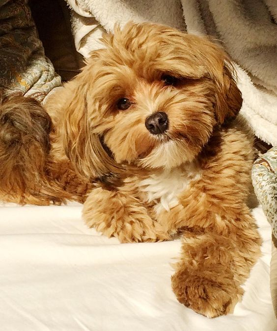121+ Best Havanese Dog Names – The Paws