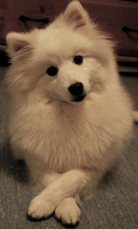 111 Best Japanese Spitz Dog Names The Paws