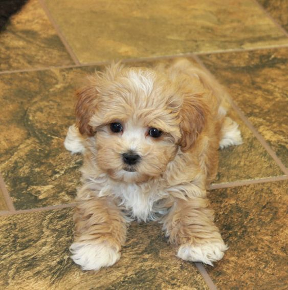 100 Best Maltipoo Dog Names The Paws