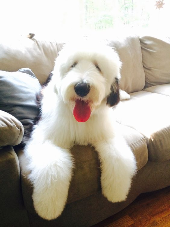 140+ Best Old English Sheepdog Names – The Paws