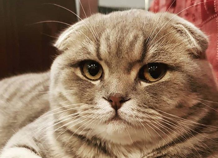 50 Best Scottish Fold Cat Names   The Paws