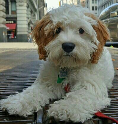 100+ Best Tibetan Terrier Dog Names | The Paws