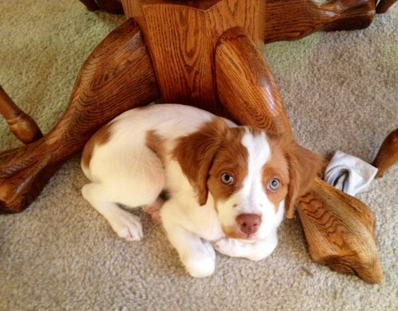 43 Best Toys For Brittany Spaniels