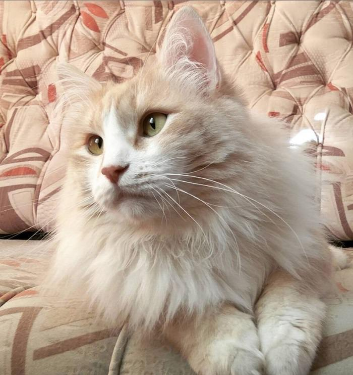 38 Best Cream Colored Cat Names The Paws