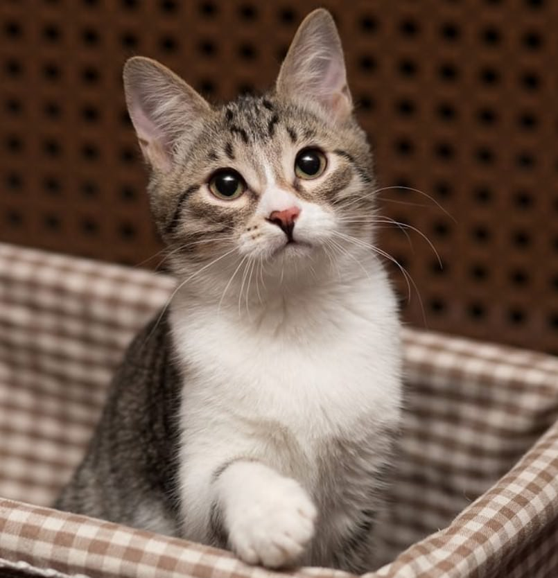 50 Grey and White Cat Names | The Paws