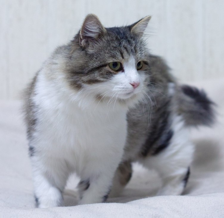 25 Male Names For Grey And White Cats The Paws