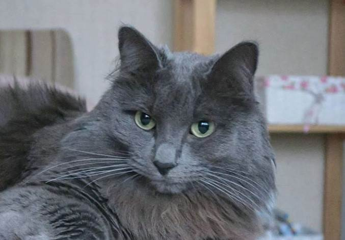 150 Best Grey Cat Names The Paws