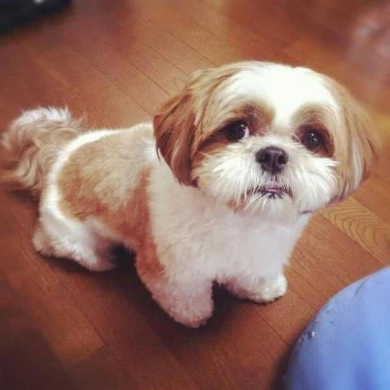 135 Best Shih Tzu Dog Names The Paws
