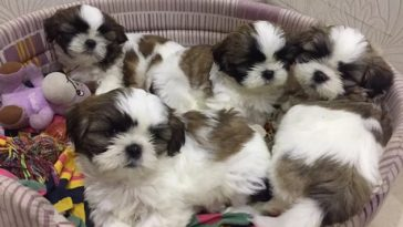 33 Chinese Shih Tzu Dog Names | The Paws