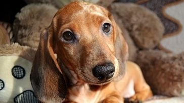 90 Female Bloodhound Dog Names | The Paws
